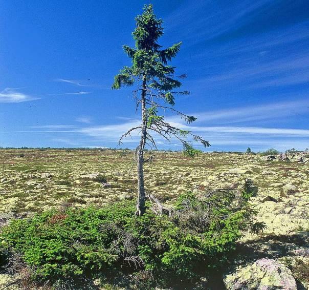9550 year old spruce, Old Tjikko, in Sweden